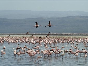 Flamingoes at Lake Nakuru National Park